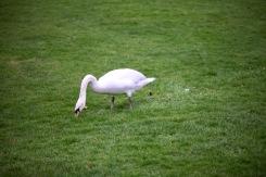 Swan on lawn