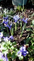 Irises, primulas, snowdrops