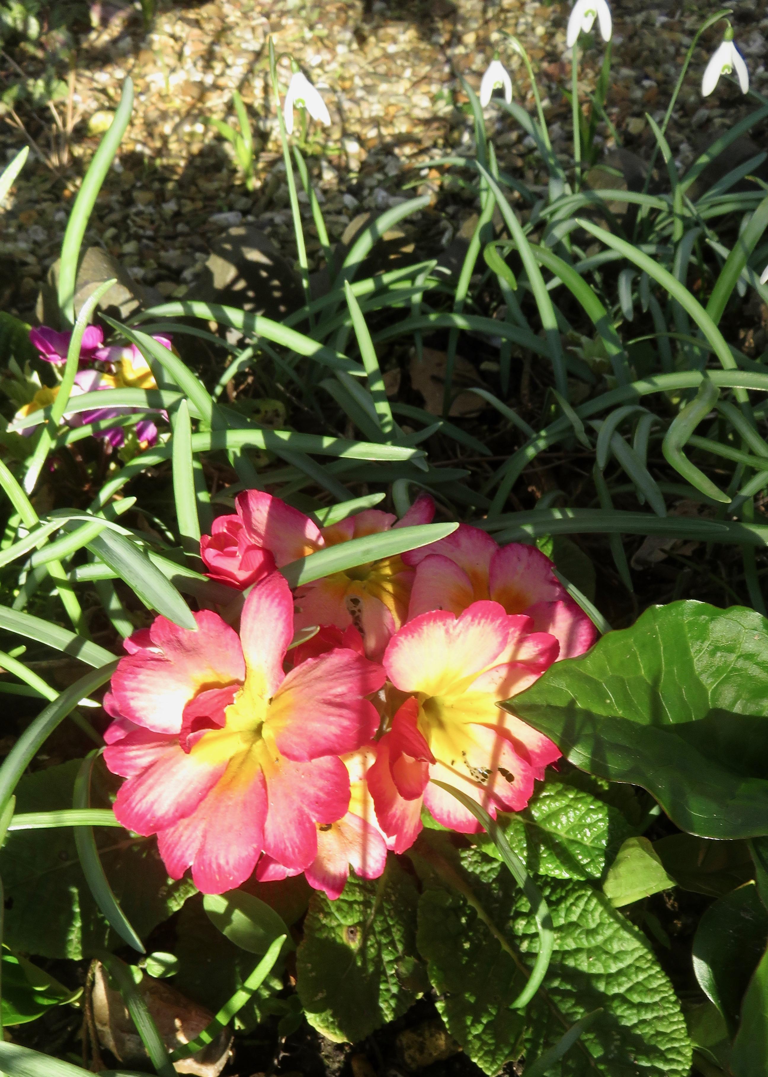 Primulas and snowdrops