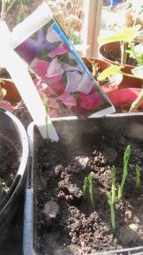 Sweet peas germinating