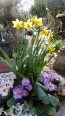 Daffodils and primulas