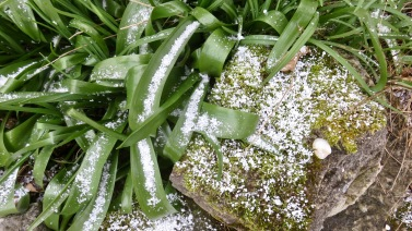 Snow on leaves and rock