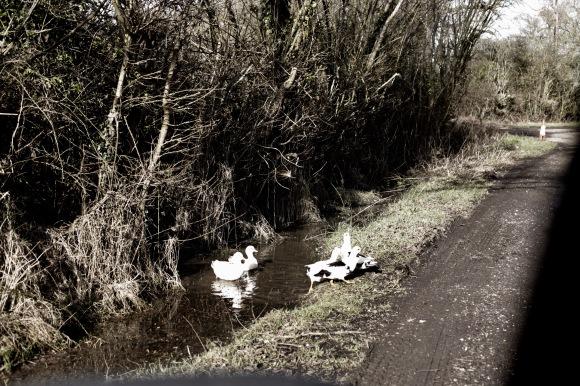 Ducks 4