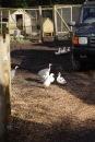 Guinea fowl and ducks 1