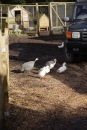Guinea fowl and ducks 2