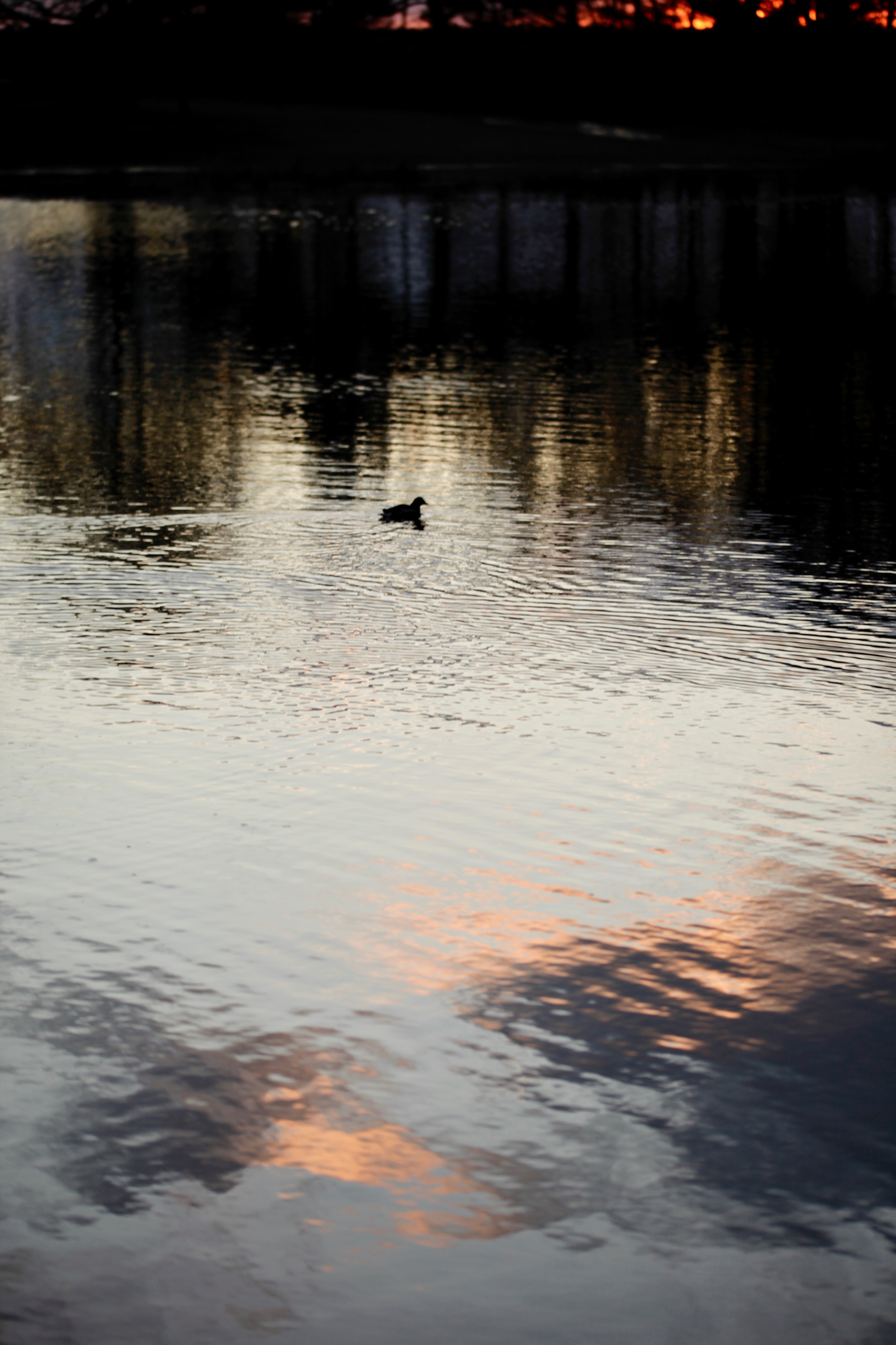 Waterfowl and reflected clouds at sunset