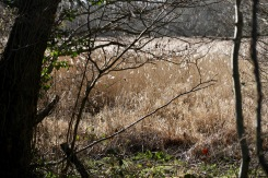 Reedbeds through trees