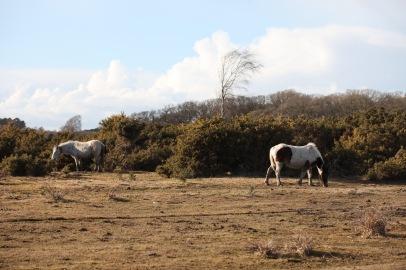 Ponies, gorse