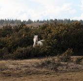 Pony, gorse