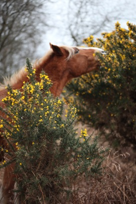Pony eating gorse