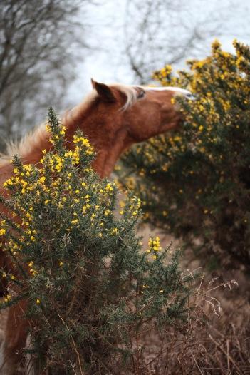 Pony eating gorse