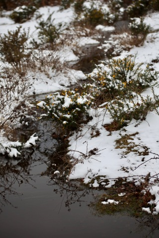 Stream and gorse in snow