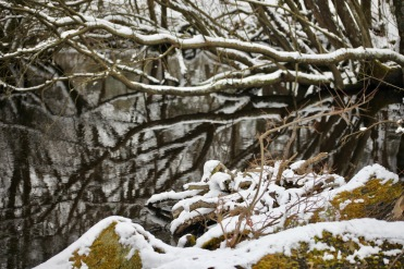 Trees reflected, snow