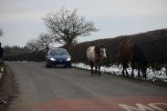 Ponies in road