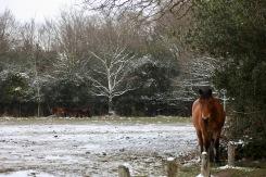 Ponies in snow