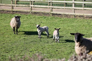 Ewes and lambs