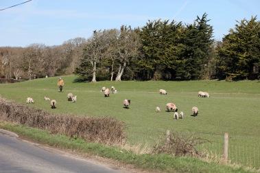 Ewes, lambs, farmer