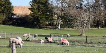 Ewes, lambs, gravel heap