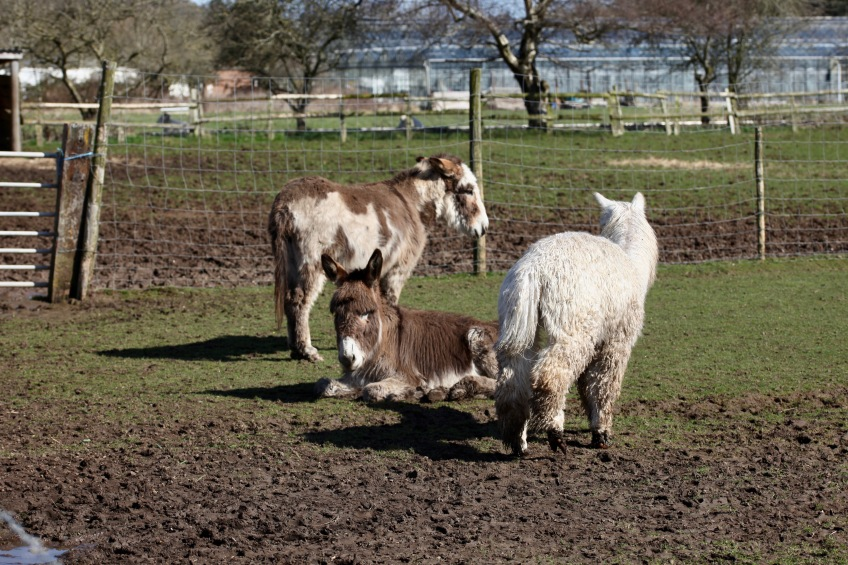 Donkeys and alpaca