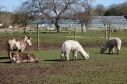Donkeys and alpacas