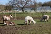 Donkeys and alpacas