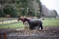 Horses in rugs