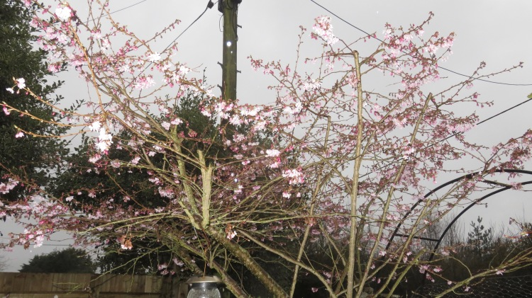 Winter flowering cherry
