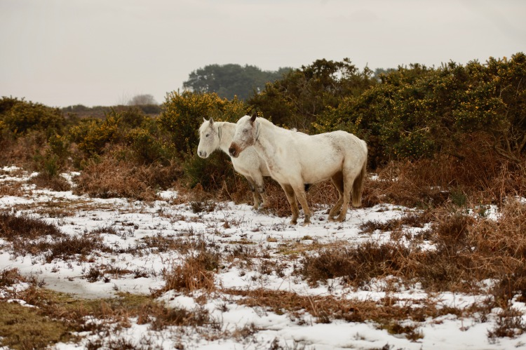Ponies, snow, bracken, gorse