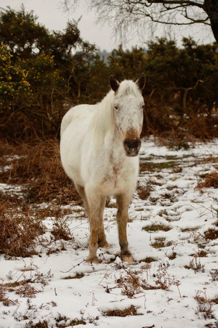 Pony, snow, bracken, gorse