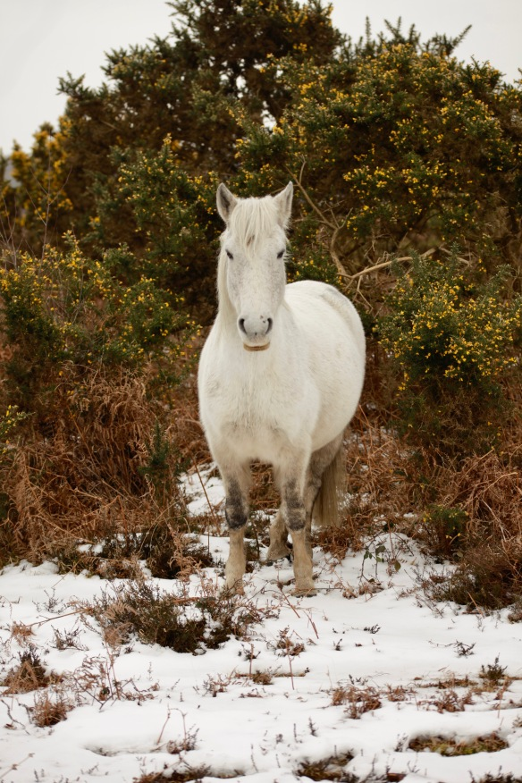 Pony, snow, bracken, gorse