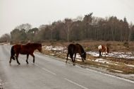 Ponies crossing road