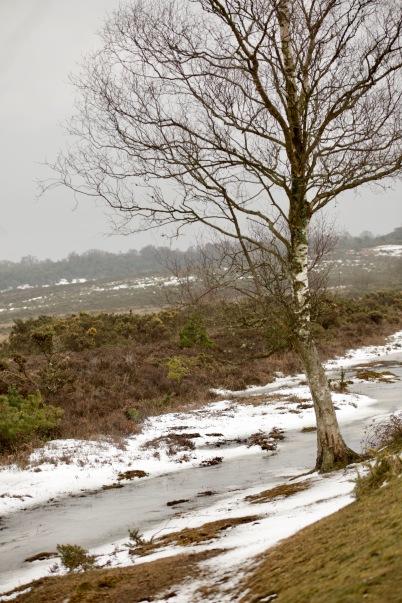 Birch on snowy bank