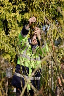 Aaron pruning roses