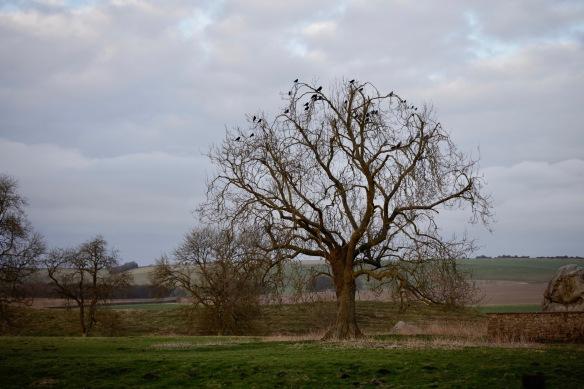 Tree of Jackdaws