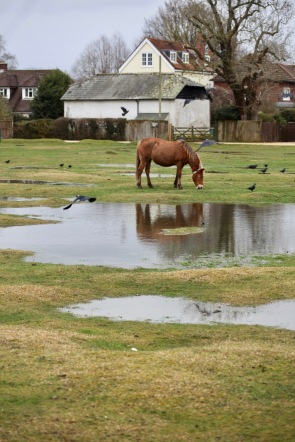Pony and jackdaws