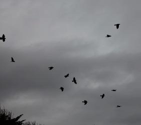 Jackdaws in flight