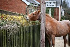 Pony clipping shrubs