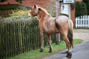 Pony clipping hedge