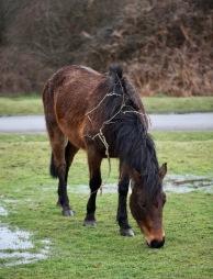 Pony, thorn in mane