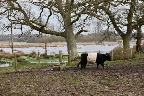 Belted Galloway, watterlogged fields