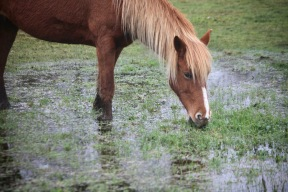 Pony in waterlogged grass