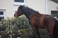 Pony clipping holly bush