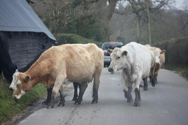 Cattle on road