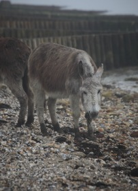Donkey eating seaweed