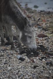 Donkey eating seaweed