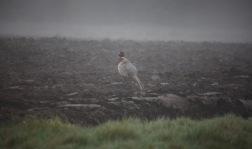 Cock pheasant in mist