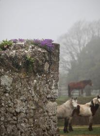 Aubretia on stone wall