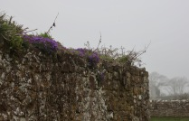 Aubretia on stone wall