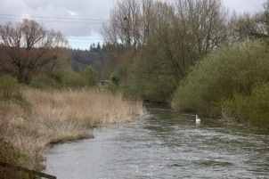 Swan on River Avon
