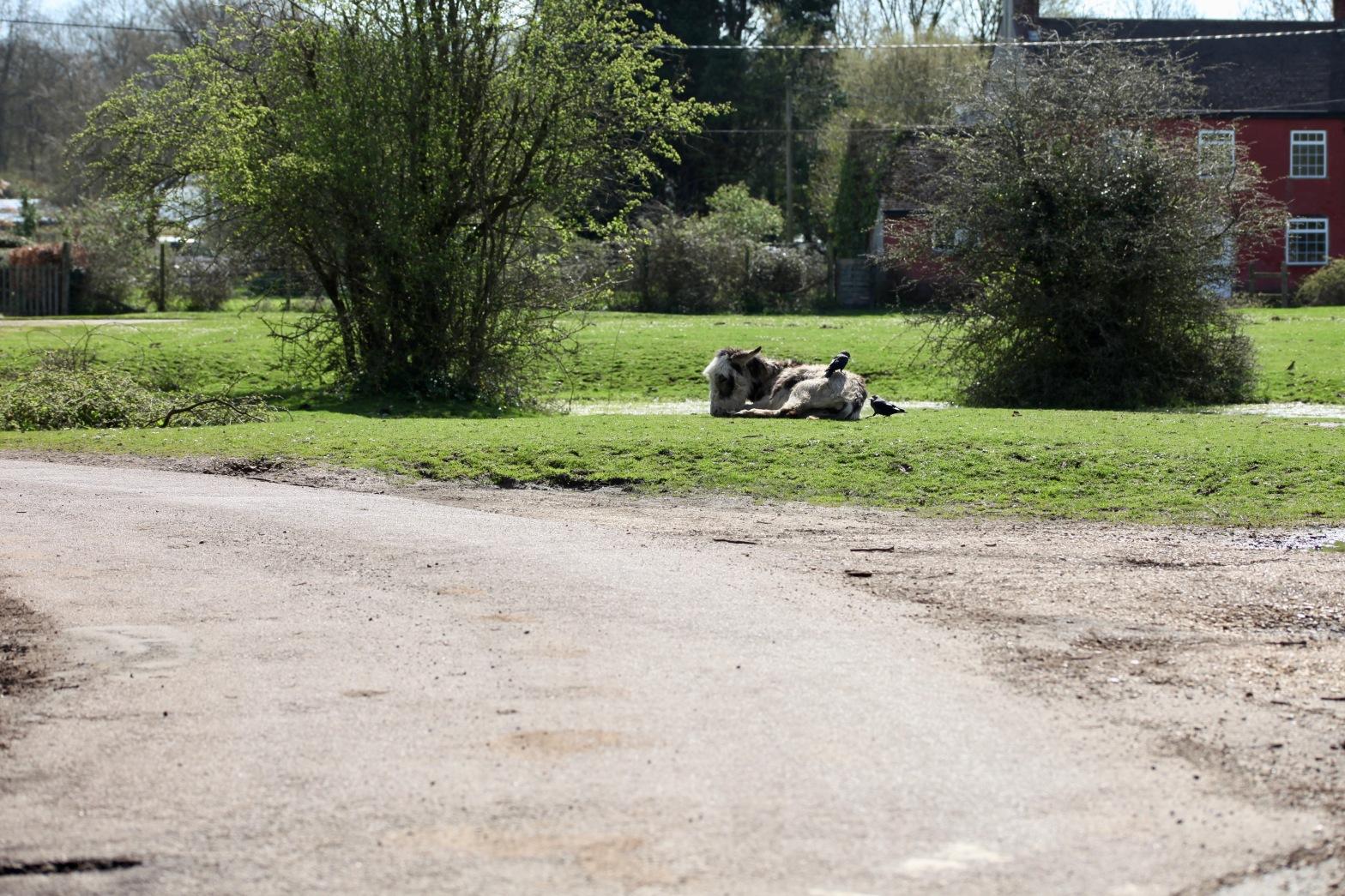 Jackdaws and donkey